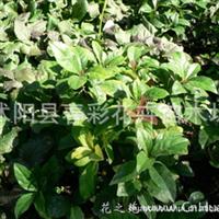 紫金牛.小青、矮茶、短脚三郎,不出林,凉伞盖珍珠,矮脚樟茶