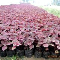 长期供应彩叶草  各种草花植物 绿化苗木(图)