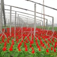 长期供应鸡冠花  绿化苗木 草花植物(图)