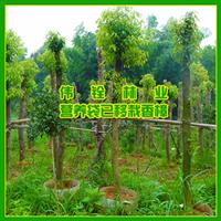 乔木-批发胸径12公分香樟 12公分香樟树 再生香樟 营养袋香樟树
