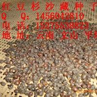 常年供应南方红豆杉种子(沙藏种子)发芽率高,质量好