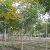 供应绿化苗木   乔木  无患子11公分