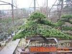 五针松盆景/花卉盆景/观赏植物/园艺绿化