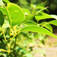 大量供应-- 绿化苗木 工程苗木 各种规格香樟 香樟树 樟树