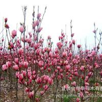 大量供应-- 绿化苗木 各种规格红玉兰 花卉苗木 红花玉兰苗木