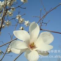大量供应-- 绿化苗木 白玉兰 花卉苗木 白花玉兰苗木 园林苗木