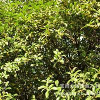 大量供应-- 桂花树 优质大小各种桂花 绿化苗木 桂花绿化树