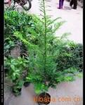 供应红豆杉种子,种苗(袋苗)