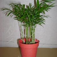 《2.3元特价》供应小盆栽袖珍椰子。
