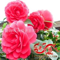 批发茶花盆栽 赤丹茶花 年宵精品花卉 供应各类花卉