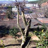 特价供应红桎木树桩(黑珍珠,双面红)