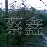 (50元特�r)供��盆栽�t豆杉。