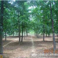 常年供应1-80cm银杏树
