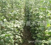 供应40-50cm优质银杏小苗