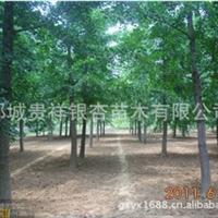 供应8-10-12公分银杏树