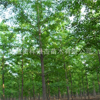 低价供应20cm优质银杏树