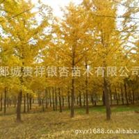 低价供应1-60公分银杏树