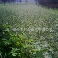 速生竹柳专业生产,美国竹柳种苗供应
