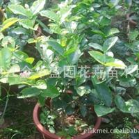 长期供应盆栽茉莉花