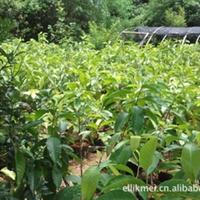 长期供应白兰花盆栽嫁接白兰花