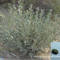 沙冬青-灌木-蒙草抗旱低碳绿化-防风固沙和滞尘