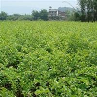 供应高30cm-60cm毛叶丁香 重庆苗木大量批发