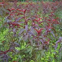 低价批发 紫叶桃树小苗 紫叶桃树种子 紫叶桃小苗 紫叶桃种子