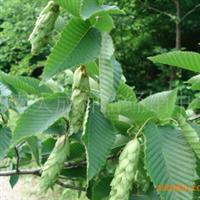 供应种子-香椿种子-红椿种子-香椿芽树种子-济南大成种苗