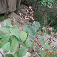 供应红叶小檗种子-紫叶小檗种子-山东大成种苗-灌木种子