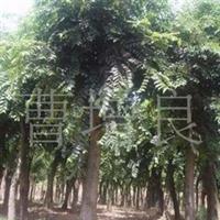 供应直径10-50厘米的榉树
