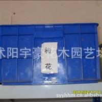 【公司直销】桂花种子 金桂 丹桂 银贵 支持货到付款