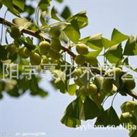 【公司直销】银杏种子  支持货到付款