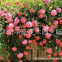 批发零售     蔷薇花苗    支持货到付款