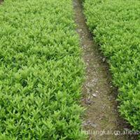优质专供绿化灌木 映山红