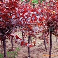 供应 各种规格优质 红叶李 紫叶李