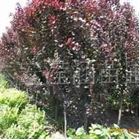 泰安滢涵苗圃 供应  红叶李 紫叶李