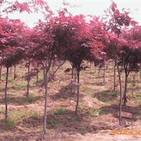 出售当年新采芽菜种子=红油香椿种子,每斤30元!