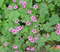 金源园林大量供应红花酢浆草,别名太阳花、红花草