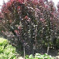 供应批发绿化苗木-紫叶李