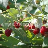 双季红树莓,美国双季红树莓——中林18号