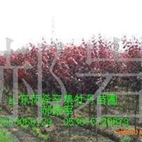 厂家长期大批量供应紫叶李