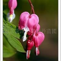 供应荷包牡丹,芍药,牡丹种子,绿化苗,春节催花牡丹