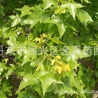 丹东振兴区金春苗圃供应优质                           五角枫