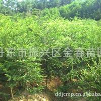 丹东金春苗圃供应大量优质东北红豆杉苗