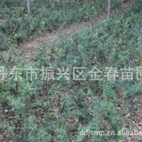 丹东金春苗圃供应大量品质优良红豆杉扦插占地苗