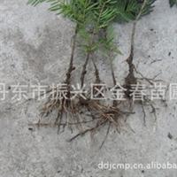 丹东金春苗圃供应优质                红豆杉籽播苗