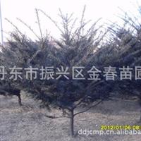 丹东金春苗圃供应优质                       东北红豆杉