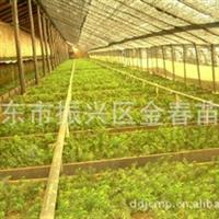 丹东金春苗圃供应优质红豆杉  籽播苗
