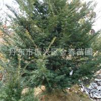 提供优质东北红豆杉大树乔木东北红豆杉