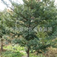 丹东金春苗圃供应品种优良           红豆杉